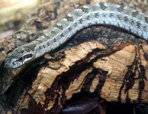 白条锦蛇的基本资料介绍